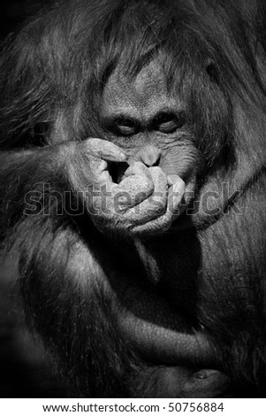 Orangutan giggling - looking towards camera B&W - stock photo