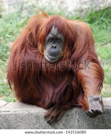 Orangutan in a zoo - stock photo
