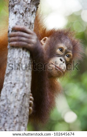 Orangutan in Malaysia, Borneo hanging onto a tree. - stock photo