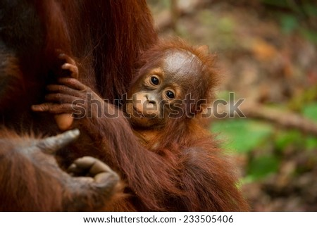 Orangutan in south Borneo Indonesia.