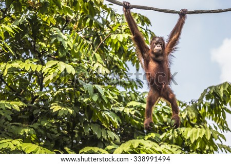 Orangutan in the jungle of Borneo Indonesia. Visible noise at 100%. - stock photo