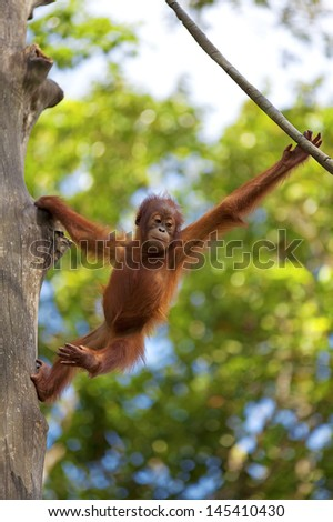 Orangutan in the jungle of Borneo, Malaysia - stock photo