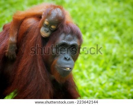 Orangutan in the jungle of Borneo, Malaysia - stock photo