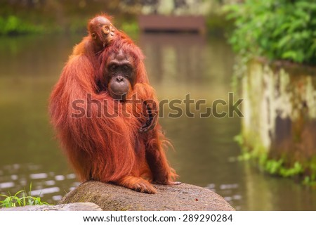 Orangutan in the Singapore Zoo at the tree - stock photo