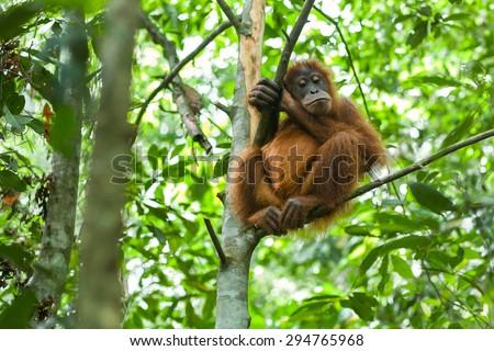 Orangutan in the wild forests of Sumatra - stock photo