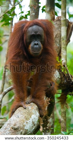 Orangutan in the wild. Indonesia. The island of Kalimantan (Borneo). An excellent illustration.