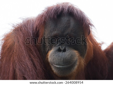 Orangutan looks over the crowd at the local zoo. - stock photo
