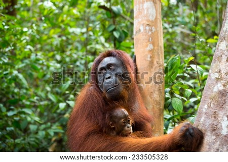 Orangutan mother and baby in south Borneo Indonesia. - stock photo