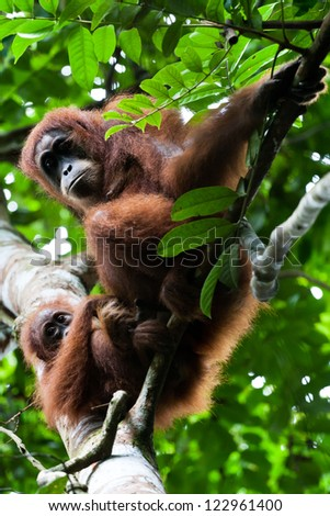 Orangutan mother with baby watch tourists in the jungle in Sumatra, Indonesia.