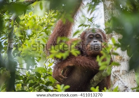 orangutan on the tree branches. Bornean orangutan (Pongo pygmaeus wurmmbii) in the wild nature. Rainforest of Island Borneo. Indonesia.  - stock photo