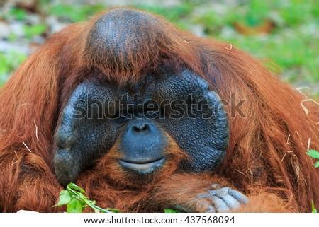 Orangutan ,Orangutan in zoo. - stock photo