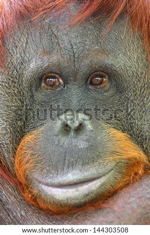 Orangutan, Pongo pygmaeus. - stock photo