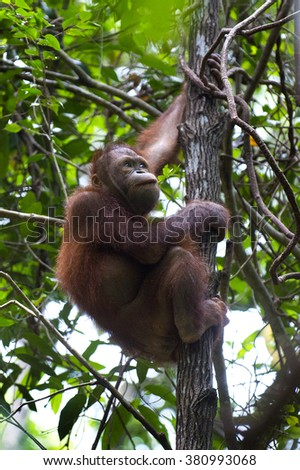 Orangutan (Pongo pygmaeus) are climbing trees and eating the leaf