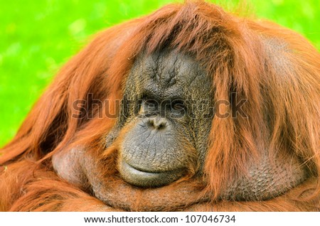 Orangutan (Pongo pygmaeus). Native to Indonesia and Malaysia, orangutans are currently found only in the rainforests of Borneo and Sumatra.