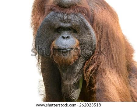 Orangutan (Pongo pygmaeus) portrait isolated over white background - stock photo