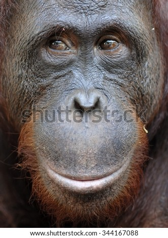 Orangutan Portrait. A portrait of the young orangutan on a nickname Ben. Close up at a short distance. Bornean orangutan (Pongo pygmaeus)