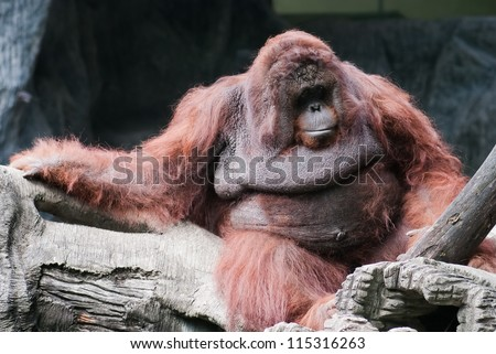 Orangutan. Portrait of the adult male in the wild nature Orangutan Portrait  male of the  the wild nature hominid sumatra intelligence utan kalimantan chordata indonesia sumatran simian hominidae