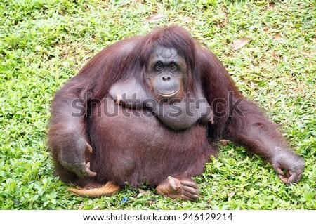Orangutan rest on the grass - stock photo