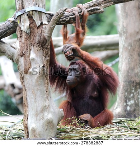 Orangutan with Its Baby Playing in Background