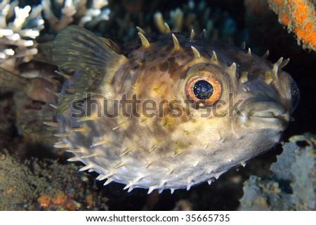 Orbicular Burrfish Portrait - stock photo