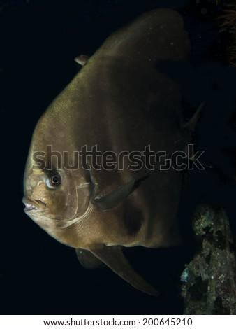 Orbicular spadefish (platax orbicularis) - stock photo
