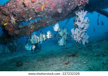 Orbicular spadefish (Platax orbicularis) - Batfish - stock photo