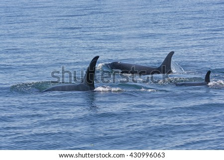 Orca Family Swimming in the Ocean in Prince William Sound near Valdez, Alaska