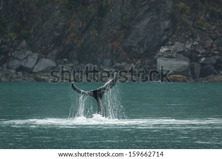 Orca fluke drips water as it continues downward motion into the sea - stock photo