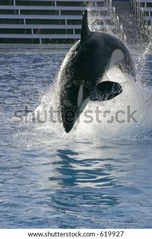 Orca Jumping - stock photo