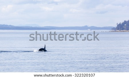 Orca jumping out of water in Johnstone strait, Vancouver Island, British Columbia, Canada