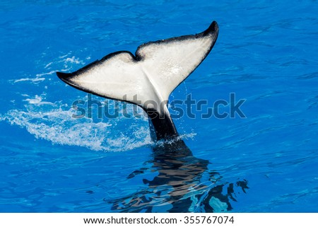 orca killer whale while swimming to you - stock photo