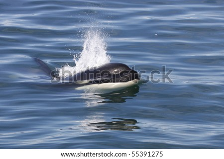 Orca or killer whale breaking the surface, Iceland, Atalntic Ocean