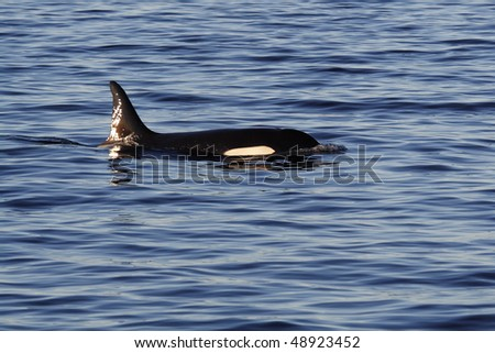 Orca or killer whale, Lofoten Archipelago, Norway
