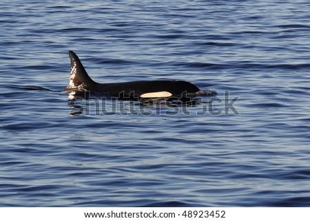 Orca or killer whale, Lofoten Archipelago, Norway - stock photo
