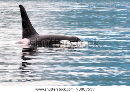 Orca or killer whale near Vancouver Island, Canada - stock photo