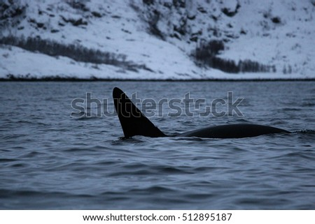 orca or killer whale, Orcinus orca in a fjord, Tromso, Norway, Atlantic Ocean