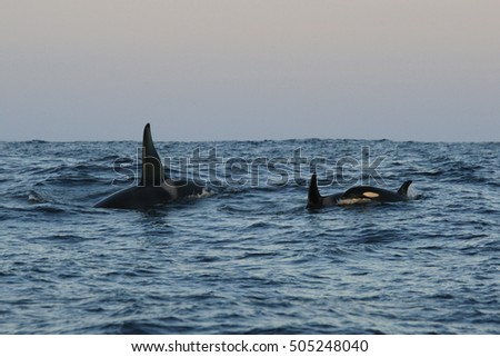 orca or killer whale, Orcinus orca, Traena, Norway, Atlantic Ocean