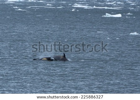 Orca (Orcinus orca) Two Orcas, a mother and her calf, swimming in the Lemaire Channel, in the Antarctic Peninsula.