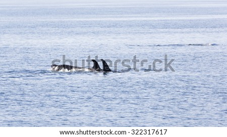 Orca pod in the waters of Johnstone strait, Vancouver Island, British Columbia, Canada