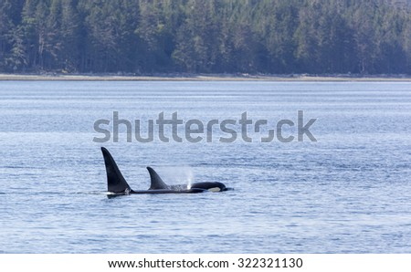 Orca's traveling in Johnstone strait, Vancouver Island, British Columbia, Canada - stock photo