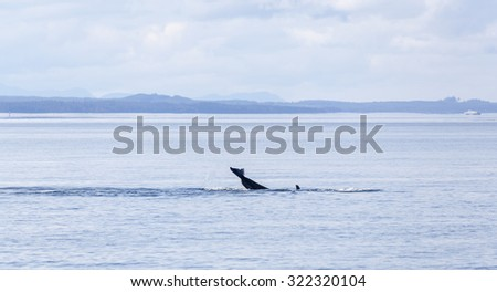 Orca tale above the water of Johnstone strait, Vancouver Island, British Columbia, Canada - stock photo