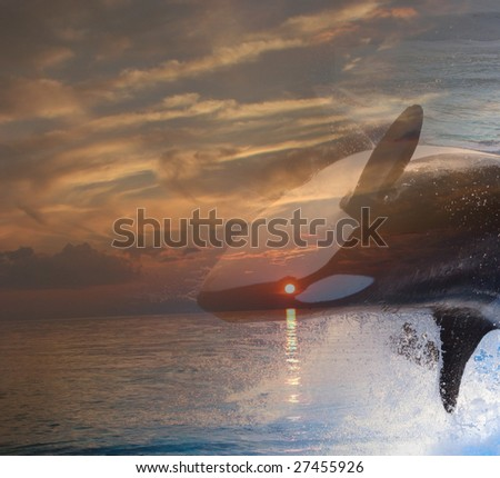orca whale diving with a background sunset - stock photo
