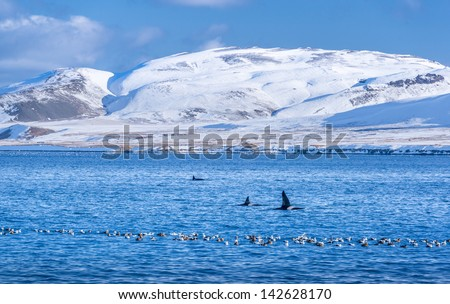 Orca whales feed in a sound in Iceland. - stock photo