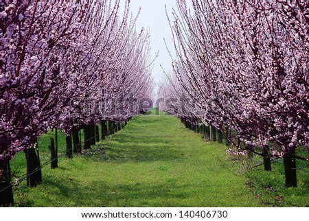 Orchard flowering trees pink spring flowers stock photo edit now orchard with flowering trees pink spring flowers on the branches mightylinksfo