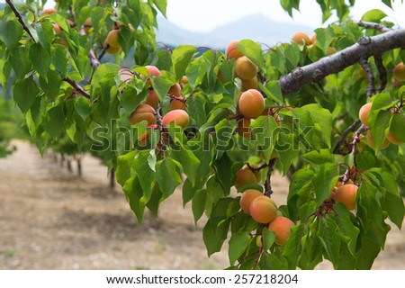 Orchard with many ripe peaches - stock photo