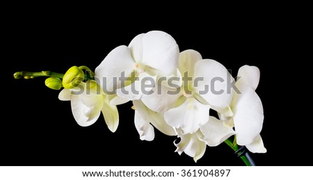 Orchid Big Lip, White branch orchid flowers