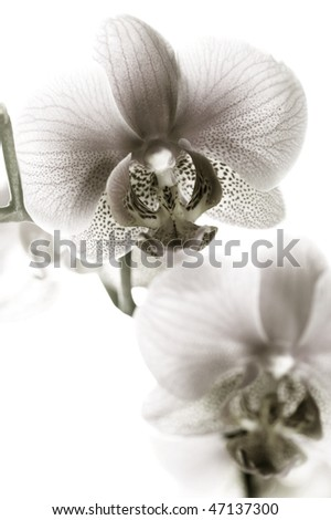 Orchid black and white - stock photo