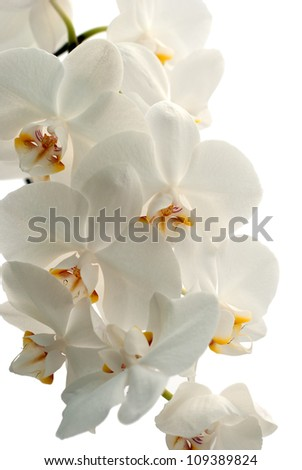 Orchid blooms  isolated on white background - stock photo