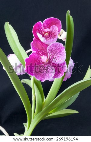Orchid Blooms on Black Background - stock photo