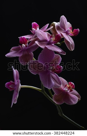 Orchid flower blooms close up image of peddles purple on black - stock photo